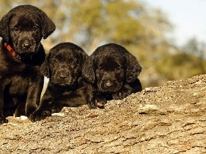 trees, Labradors, Three, Black