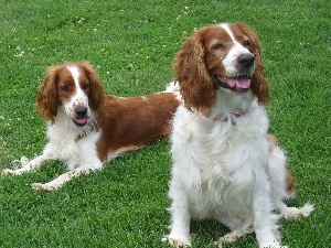 Welsh Springers spaniels, grass, Two cars