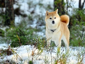 forest, winter, Akita