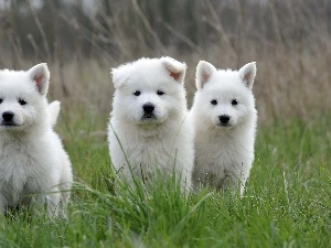 young, White Swiss Shepherd, Three